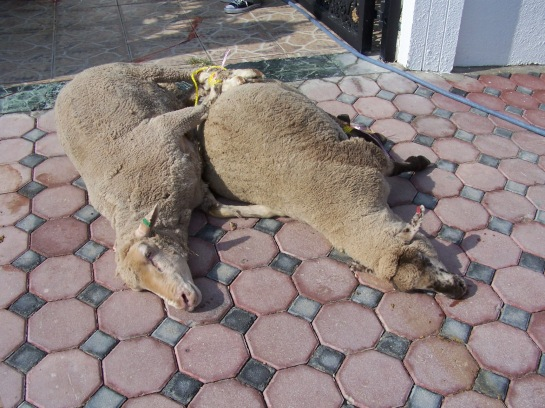 sheep, sacrificed sheep, qurban, gurban, korban, eid sacrifice, sacrificial lamb